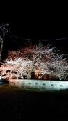 恒例の夜桜ライトアップ!